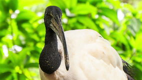 Closeup Wood Stork Large Bird against Green Plant. Closeup wood stork large white bird with black bare head and heavy beak turns head against green tropical stock video