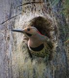 Northern Flicker sticking head out of the nest royalty free stock image