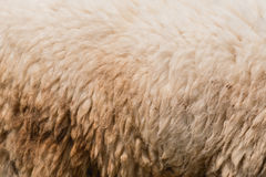 Closeup Wool of sheep Stock Photos