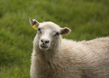 Closeup of a sheep. Closeup of woolly sheep with a tag in it`s ear stock image