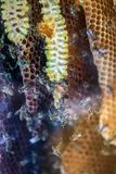 Honey bees on a comb Royalty Free Stock Photo