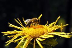 Closeup of working bee on the yellow flower royalty free stock images