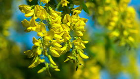 Closeup of yellow acacia blossom branch, wind moving the hanging flowers, evening sunlight stock video