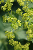 Closeup of yellow alchemilla. Flowers on green background Royalty Free Stock Photos