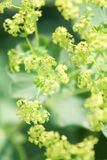 Closeup of yellow alchemilla. Flowers on green background Stock Photo