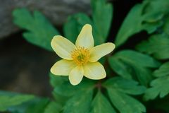 A closeup of a yellow anemone flower. Anemone ranunculoides occur in the wild state in Europe and the Transcaucasia in Asia. It blooms from March to May. It`s a Stock Images