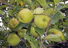 Closeup yellow apples hanging on a tree in an orchard. Royalty Free Stock Image