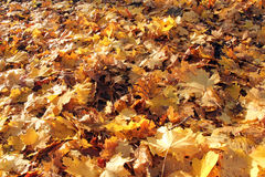 Closeup of yellow autumn leaves Royalty Free Stock Images
