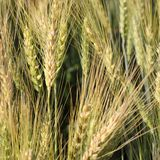 Closeup yellow Barley field grain growth Royalty Free Stock Images