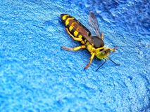 Closeup of sand wasp isolated on blue background. Closeup of yellow and black sand wasp isolated on blue background royalty free stock photo