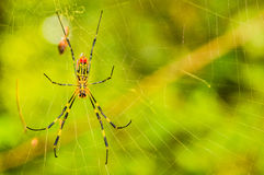 Closeup of a  yellow and black spider Stock Photos