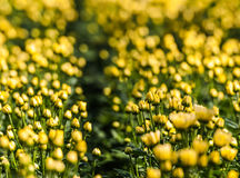 Closeup of yellow buds and flowers of Chrysanthemums Stock Photography
