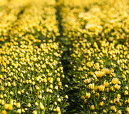 Closeup of yellow buds and flowers of Chrysanthemums Royalty Free Stock Images