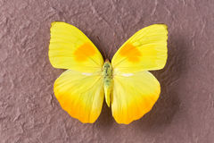 Closeup of yellow butterfly Royalty Free Stock Image