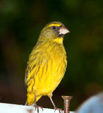 Closeup of a yellow canary. Sitting on a balcony Royalty Free Stock Images