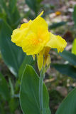 Closeup of a yellow Canna Lily royalty free stock photography