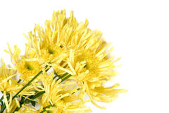 Closeup of yellow chrysanthemum Royalty Free Stock Photos
