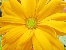 Closeup of yellow chrysanthemum. Close-up of a yellow chrysanthemums flower royalty free stock photography