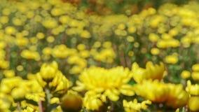 Closeup Yellow Chrysanthemum Flowers at Bright Sunlight. Closeup macro yellow chrysanthemum flowers against yellow background at bright sunlight before