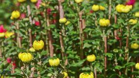 Closeup Yellow Chrysanthemums against Red Flowers at Sunlight. Closeup yellow chrysanthemums against red purple flowers at sunlight wind shakes leaves before
