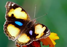 Closeup of a Yellow colored butterfly stock image