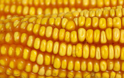 Closeup of yellow corn Royalty Free Stock Images