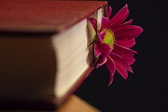 A gerbera flower bookmark in a red book stock photography