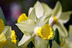 Closeup of Yellow Daffodils in Spring Stock Image