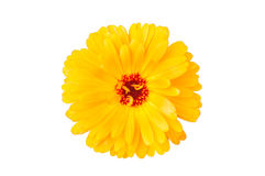 Closeup of yellow daisy Royalty Free Stock Image