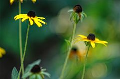 Closeup of yellow daisy flowers in a field. stock photo