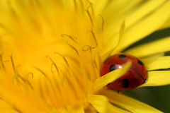 Closeup of a Yellow Dandalion with a Ladybug on it. Royalty Free Stock Photography