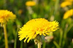 Closeup yellow dandelion flower on meadow Royalty Free Stock Image