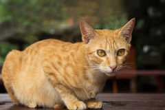 Closeup of a yellow domestic cat on a table staring Stock Photography