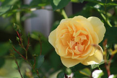 Yellow english rose closeup. Closeup of a yellow english rose growing in a cottage garden Royalty Free Stock Photos