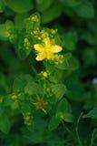 Closeup of yellow floret Stock Photography