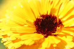 Closeup of a yellow flower. (of a vibrant color Stock Image