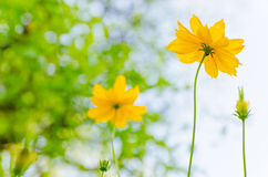 Yellow flower blossom with nature background Stock Images