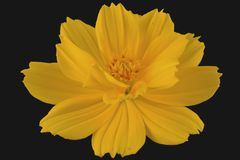 Closeup of yellow flower isolated with blackbackgroud stock photo