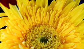 Closeup of yellow flower royalty free stock images
