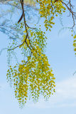 Closeup yellow flower of pudding pipe tree with bright sky Royalty Free Stock Image
