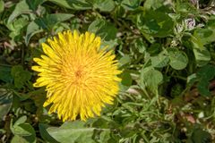 Bright Yellow Dandelion in Field Royalty Free Stock Photography