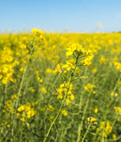 Closeup of yellow flowering rapeseed plants Royalty Free Stock Photography