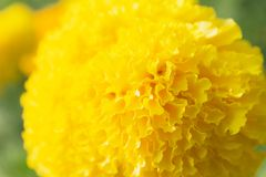 Closeup of yellow flowers background. Macro yellow flower Royalty Free Stock Image
