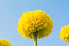 Closeup of yellow flowers background. Stock Image