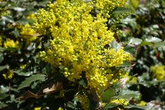 Closeup of yellow flowers and buds of Mahonia aquifolium. Close up of yellow flowers and buds of Mahonia aquifolium stock images
