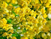 Closeup of  yellow  flowers  on tree (Senna siamea Lam) Stock Image