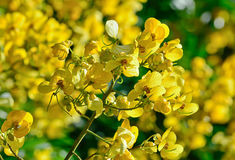 Closeup of  yellow  flowers  on tree (Senna siamea Lam) Stock Photos