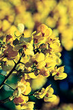 Closeup of  yellow  flowers  on tree (Senna siamea Lam) with vin Stock Photography