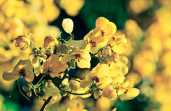 Closeup of  yellow  flowers  on tree (Senna siamea Lam) with vin Stock Photos