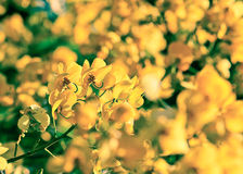 Closeup of  yellow  flowers  on tree (Senna siamea Lam) with vin Royalty Free Stock Photos